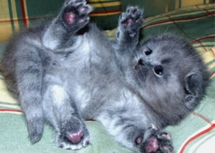 Grey Scottish Fold kitten exposed on back